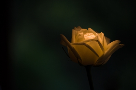 Lighting yellow Rose with dark green background