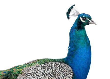 Photo pour Portrait of beautiful male peacock - image libre de droit