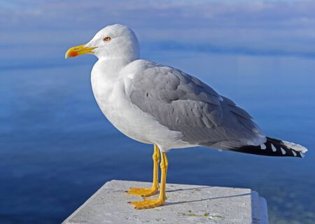 Photo for Close up view of a beautiful seagull is white and gray color - Royalty Free Image