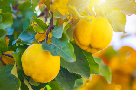 Foto per Branch of tree with ripe fruits of quince and leaves. - Immagine Royalty Free