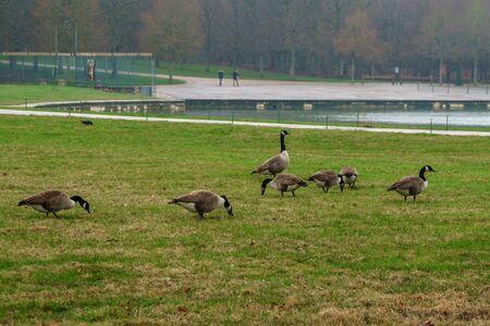 Foto de Geese in the park of Versailles eating green grass. Bird. - Imagen libre de derechos