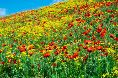 Photo pour Red poppies field in springtime landscape, nature. Flora - image libre de droit