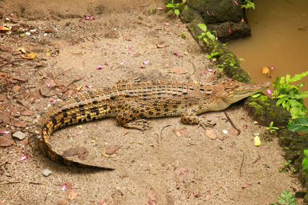 Photo pour Saltwater crocodile waiting for prey by the river in the tropical jungle. Crocodylus porosus basks in the sun on the river bank. A saltwater indopacific crocodile view from above giving a background - image libre de droit