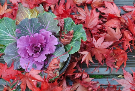 brassica in pot among red maple leaves on wooden terrace