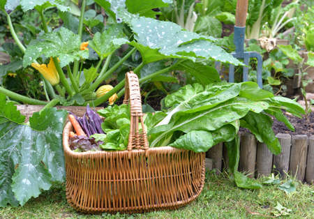 Photo for fresh vegetables in a wicker basket placed in grass in front of zucchini plant in garden - Royalty Free Image