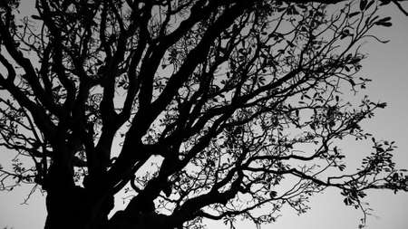 Photo pour An Abstract Black and white silhouette of a tree with branches and leaves against  sky in the background - image libre de droit