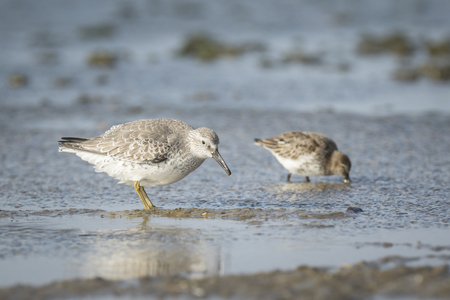 Dunlin, Calidris alpina, with juvenile in search for food at a beach on a sunny day.