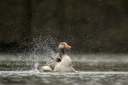 Greylag goose (Anser anser) preening and splashing in the water, cleaning his feathers and plumage..