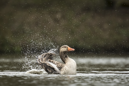 Greylag goose (Anser anser) washing, preening and splashing in the water, cleaning his feathers and plumage..