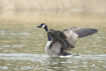 Canadian goose (Branta canadensis) washing, preening and splashing in the water, cleaning his feathers and plumage..