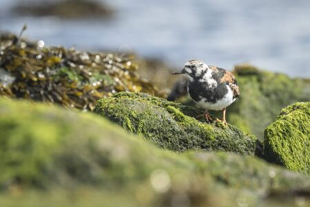 Ruddy turnstone wading bird, Arenaria interpres, foraging in between the rocks at the shore. These birds live in flocks at shore and are migratory.