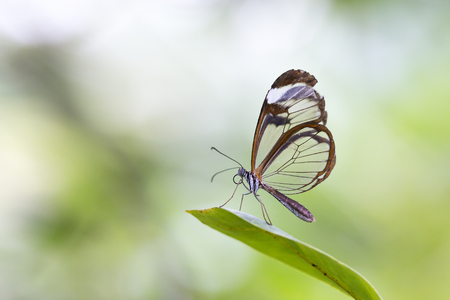 Close up portrait of a Greta oto, the glasswinged butterfly or glasswing. The background is brightly lit and vibrant colored.