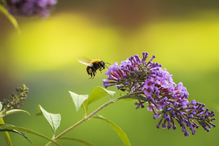 Foto de Closeup of a common carder bee, Bombus pascuorum, feeding nectar of a purple butterfly bush (Buddleia davidii) - Imagen libre de derechos