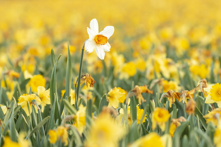 Photo for Colorful blooming flower field with yellow Narcissus or daffodil closeup during sunset. Popular touristic destination. - Royalty Free Image