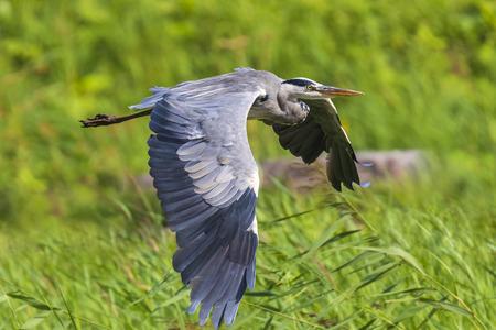 Foto de Great blue heron (Ardea herodias) waterfowl bird in flight with his wings spread and green backdrop - Imagen libre de derechos
