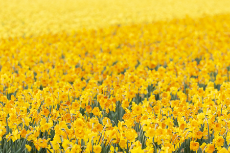 Photo for Colorful blooming flower field with yellow Narcissus or daffodil during sunset. Popular touristic destination. - Royalty Free Image