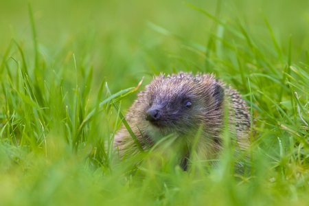 Closeup of a Hedgehog, Erinaceus europaeus, in a meadow in search for foodの写真素材
