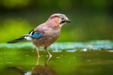 Closeup of a Eurasian jay Garrulus glandarius bird drinking, washing, preening and cleaning in water. Selective focus and low poit of view