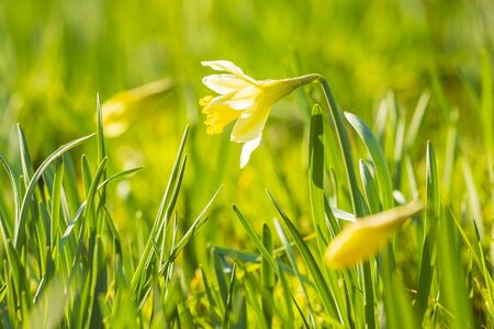 Photo for Yellow daffodil flower or Lent lily, Narcissus pseudonarcissus, blooming in a green meadow during Springtime on a sunny day and clear blue sky. - Royalty Free Image