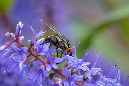 Photo pour Flesh fly, Sarcophagidae, pollinating purple flowers. - image libre de droit