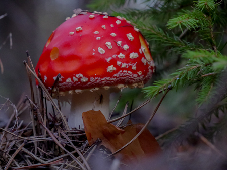 Red fly agaric mushroom in the forest