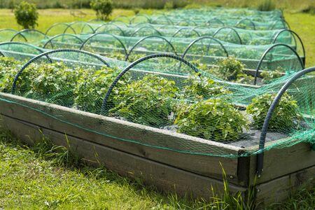 Photo pour Berry strawberries in the garden under the net. Summer harvest. - image libre de droit