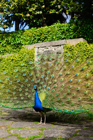 Foto de Beautiful peacock displaying itself on a beautiful sunny day. The peacock has the scientific name of Pavo cristatus. It is a native bird of the Indian subcontinent, being the national bird of India. - Imagen libre de derechos