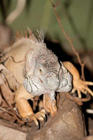 iguana on the way