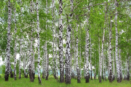 Spring landscape in a birch grove.