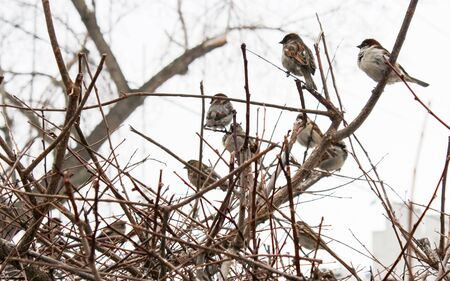 A flock of sparrows sitting in the bushes