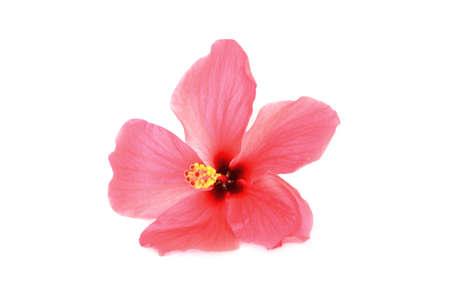Photo pour Hibiscus  on white background - image libre de droit