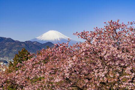 Kawazu Sakura and Mt. Fuji in early bloomの素材 [FY310148647377]