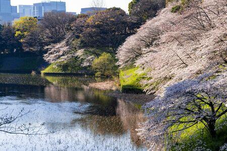 Cherry blossoms in full bloom in Chidorigabuchi in Tokyoの素材 [FY310148585746]
