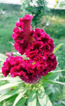 Beautiful Cockscomb flower known as Wool Flowers or Brain Celosia