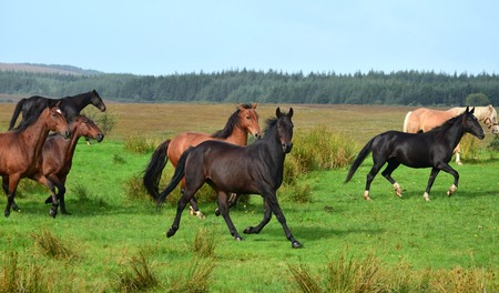 A group of horses running on a meadow in Ireland. Different breeds and colors. Landscape in the background.