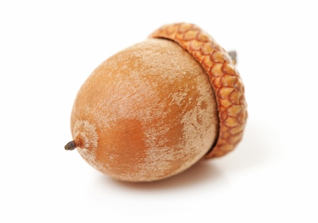 macro of single acorn over white background