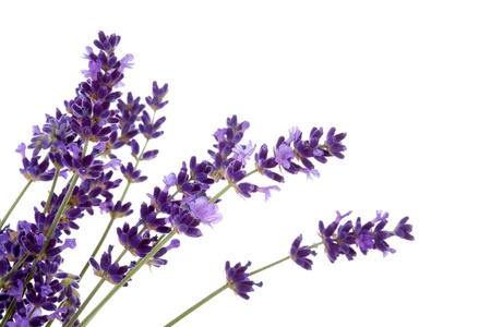 Lavender flower in closeup over white background