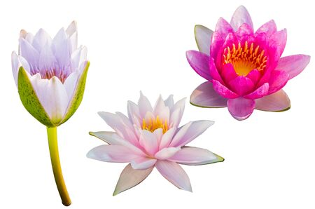 Photo pour Purple Lotus on isolated white  background. with Clipping Path - image libre de droit