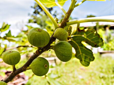 Figs on the branch of a fig tree stock photo