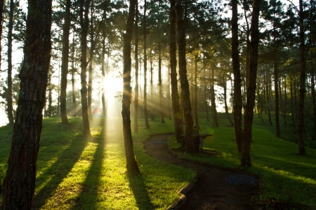 Morning light at pine forest in National Park of thailand