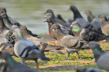 Pigeon in the garden  (selective focus)