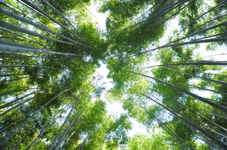 Many bamboo trees