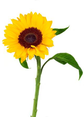 Photo for Sunflower isolated on white background - Royalty Free Image