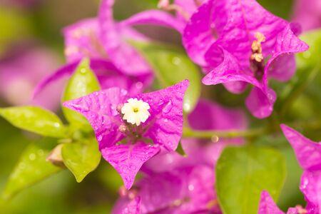 drop water on bougainvillea flowers