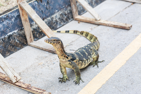 Asian Water Monitor on cement street