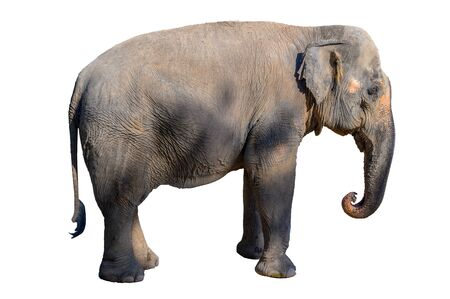 Photo for Large brown elephant White background Isolate - Royalty Free Image