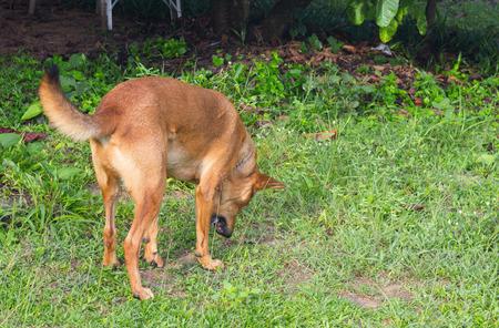 Brown Dog vomit on the ground.