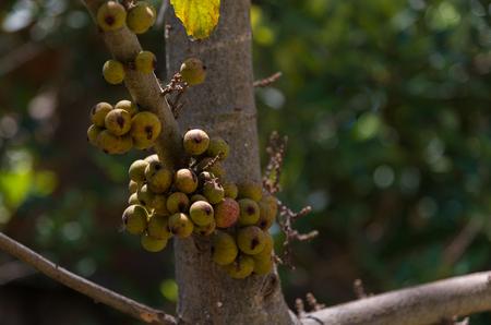 Foto für Cluster fig fruits on the trees in Thailand on natural background blur. - Lizenzfreies Bild