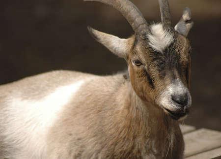 A portrait of a brown goat.