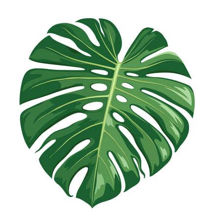 Illustration pour Monstera Deliciosa leaf vector, realistic design isolated on white background, Eps 10 illustration - image libre de droit